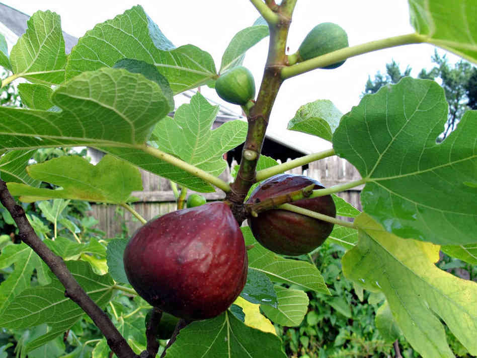The ripened figs.